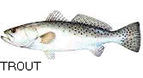 picture of trout
